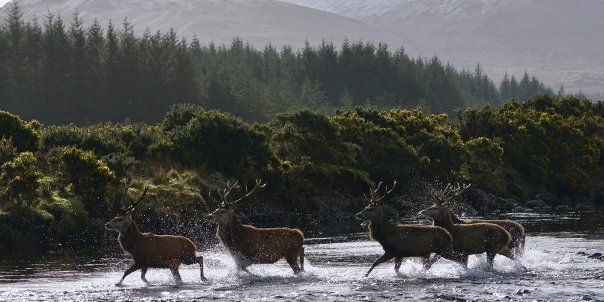 stags crossing a river