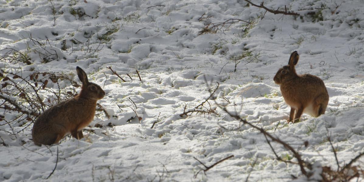Paar braune Hasen im Schnee