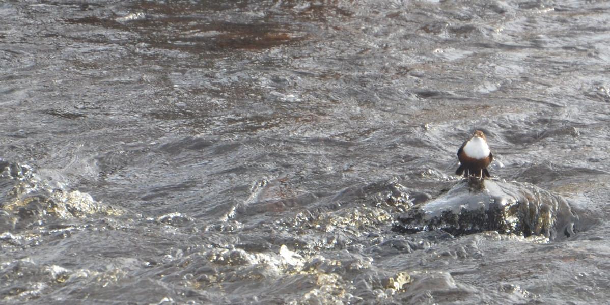 Wasseramseln auf Stein im Fluss