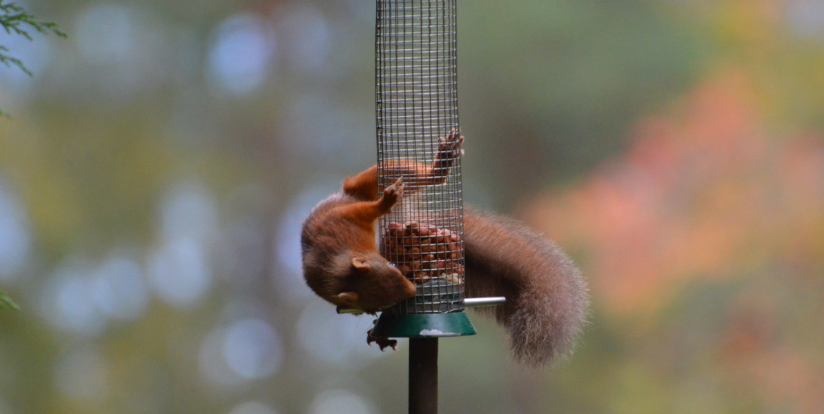 Eichhörnchen auf Feeder 2