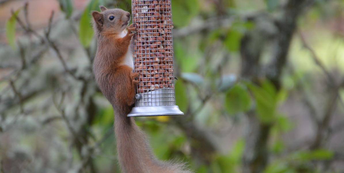 Eichhörnchen auf Feeder