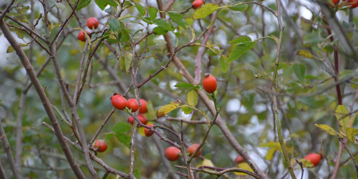 Herbstrote Hagebutten