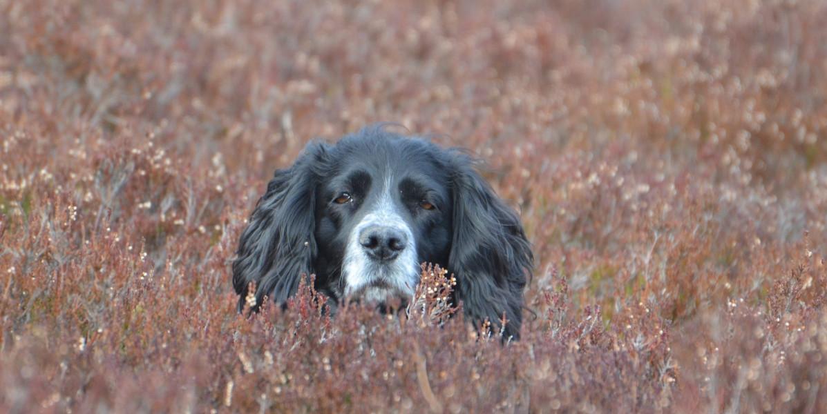 Springerspaniel Hund im Heidekraut Schottisches Moorhuhn