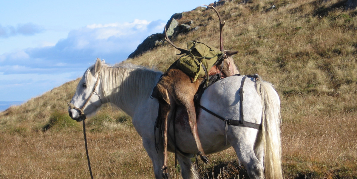 Scottish hill pony carrying a stag down from hills
