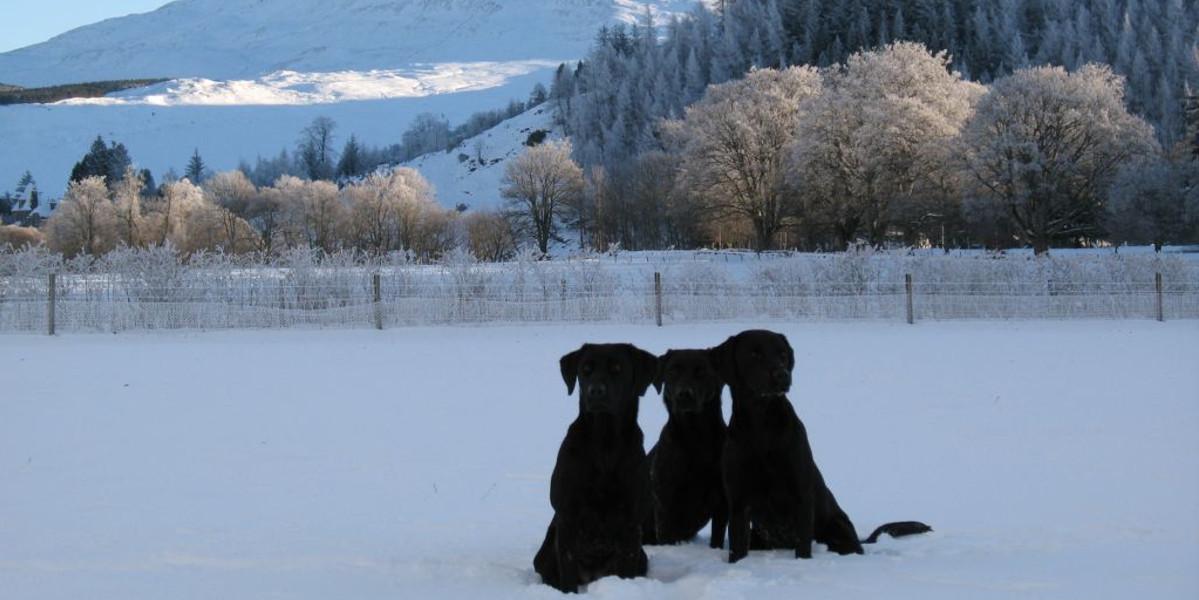 Innerhadden_Estate_three_black_labrador_dogs_sitting_in_snow