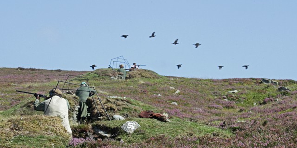 grouse butts with guns and grouse Scottish heather