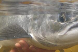 Salmón visto bajo el agua río tay escocia