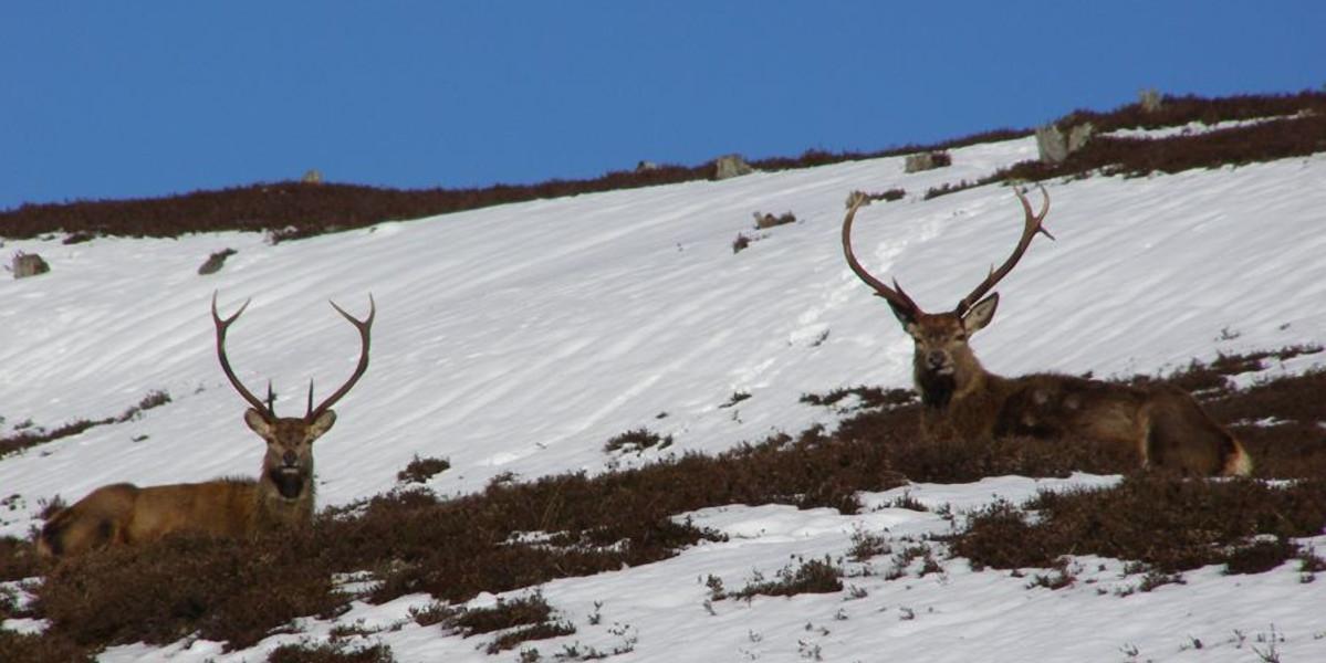 två hjorthjortar som sitter på snöig sluttning med blå himmel