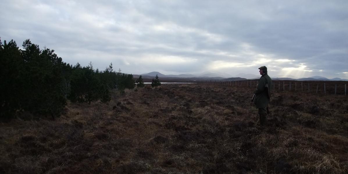 solo gun on moor waiting for flush of woodcock