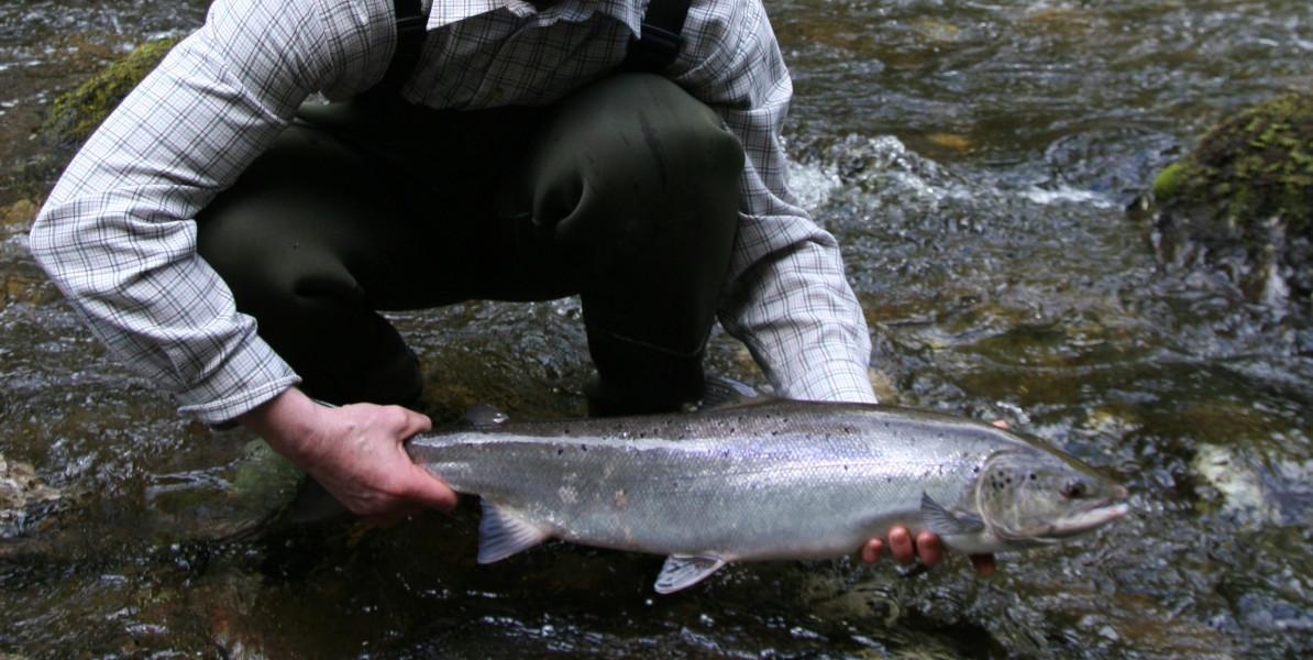 Frühling Schottischer Lachs wird ins Wasser zurückgebracht