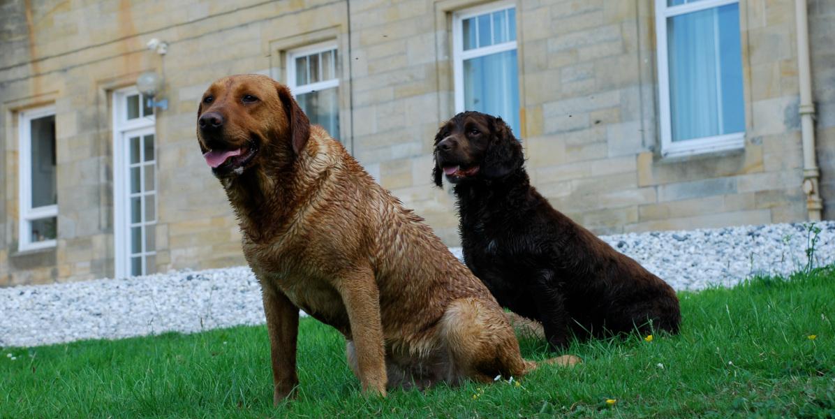 labrador and cocker gun dogs Scotland