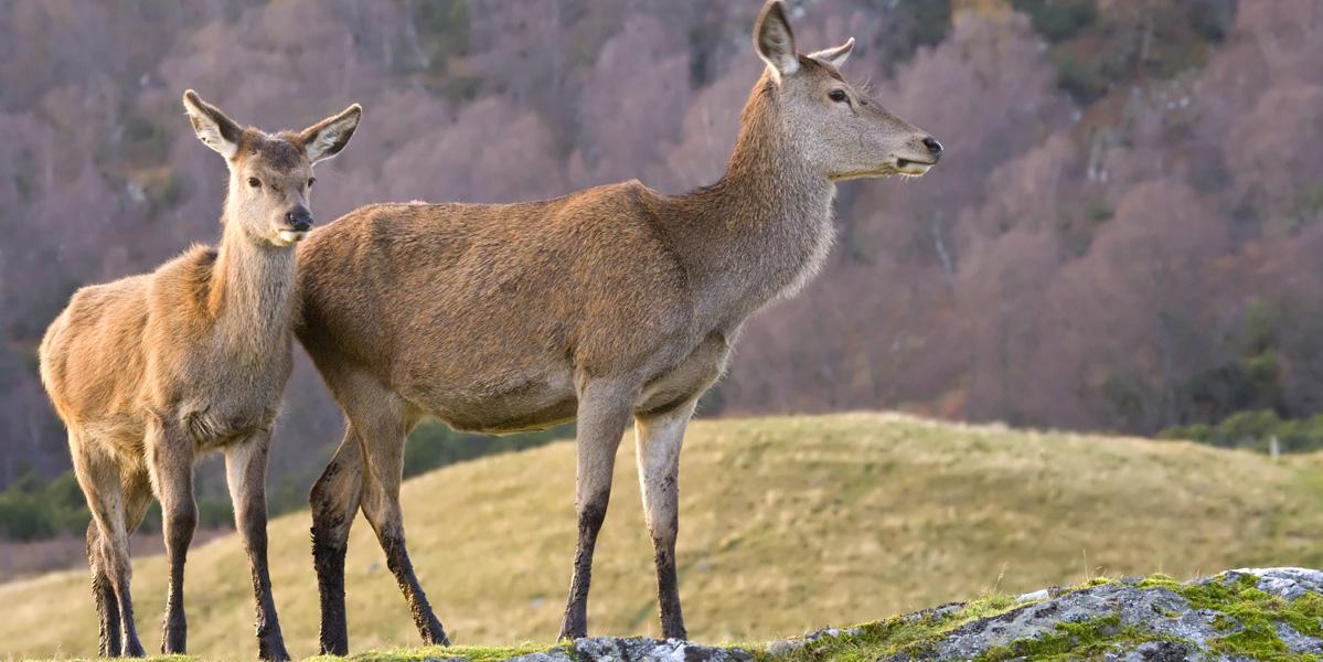 Biche et faon de cerf rouge écossais