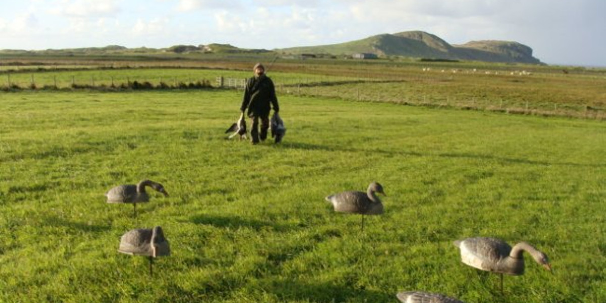 wildfowler with geese and decoys in a green field