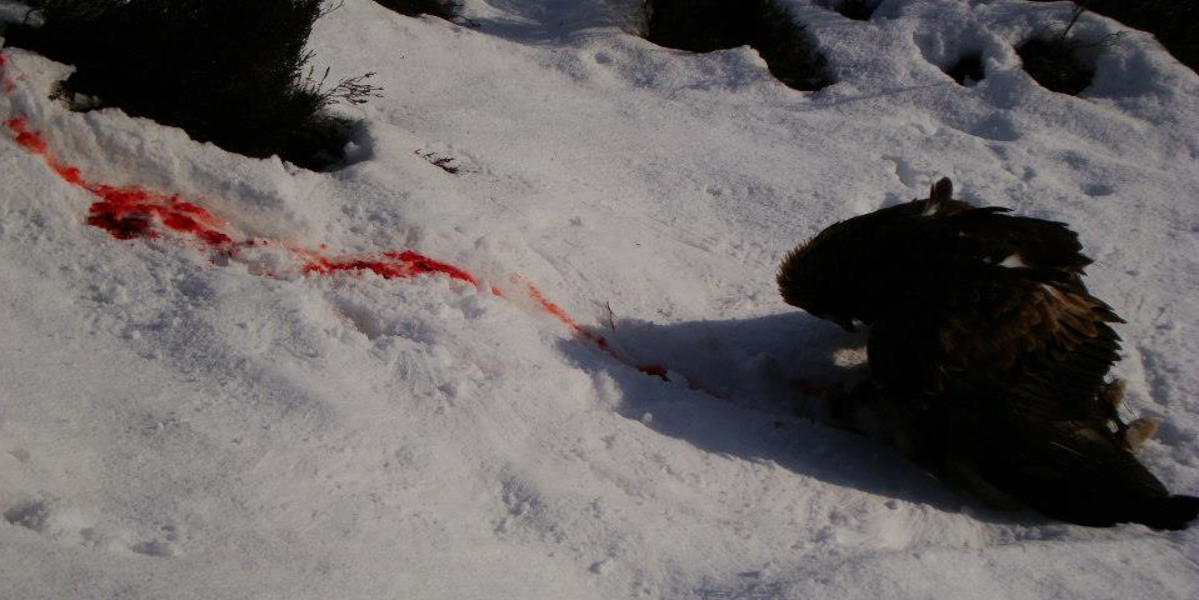Raubvogel auf blutigem Schnee