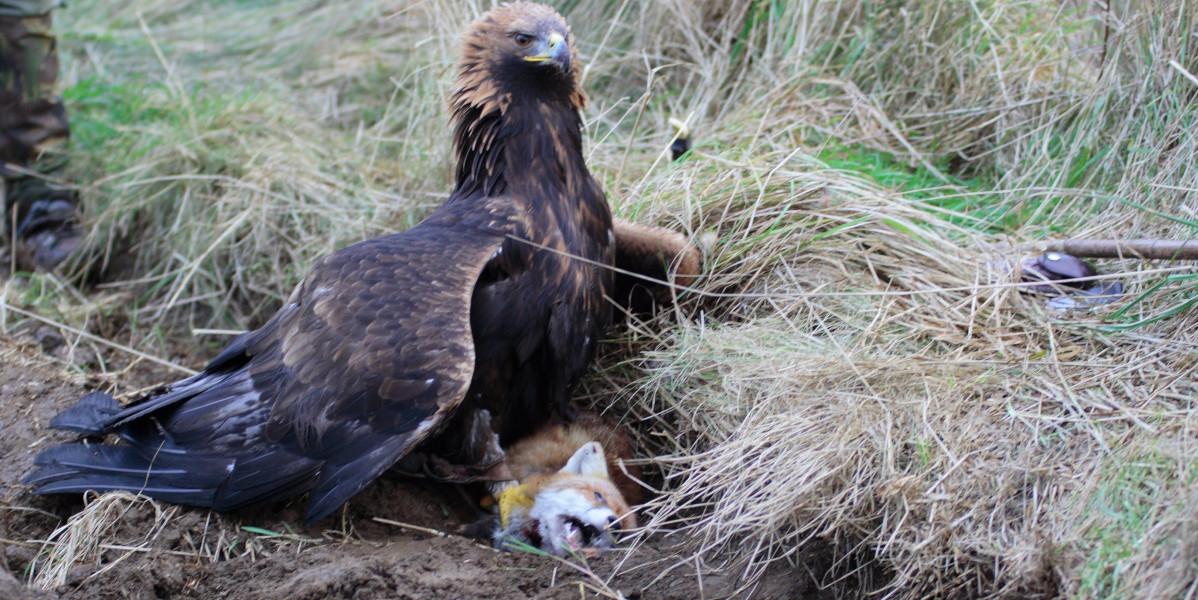Adler mit gefangenem Fuchs