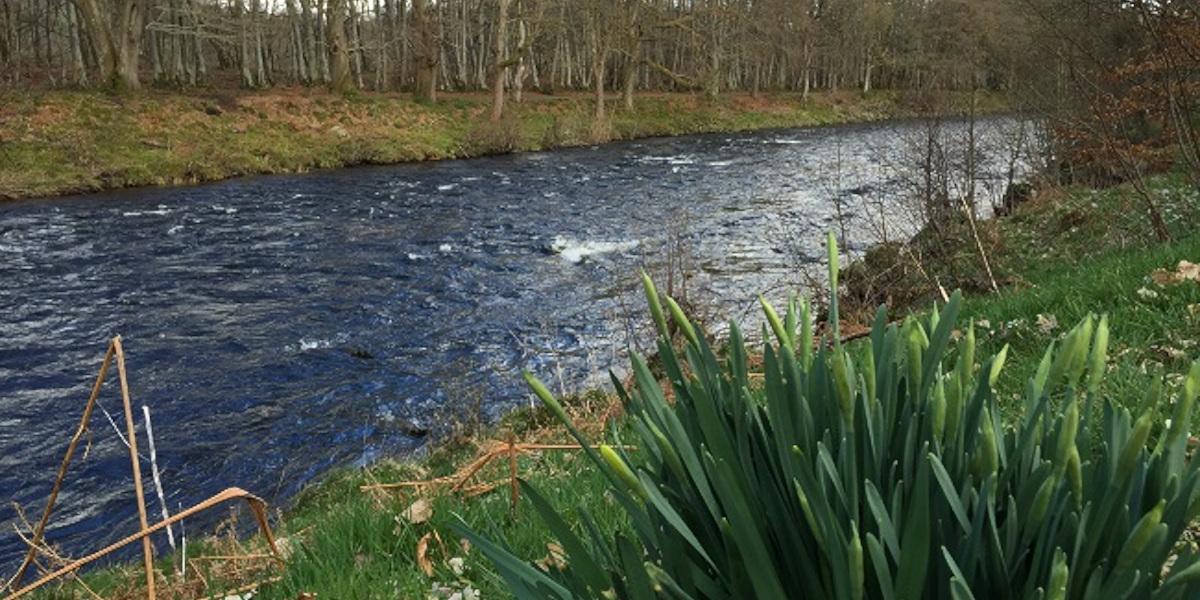 Rivière à saumon écossaise avec des jonquilles non ouvertes