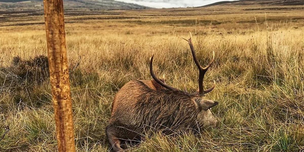 Cerf élaphe allongé sur l'herbe