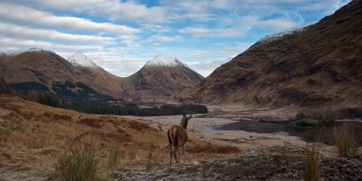 snow capped Scottish mountains with red deer hind in foreground