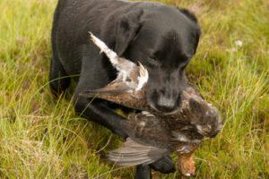 nero labrador retrieving red grouse