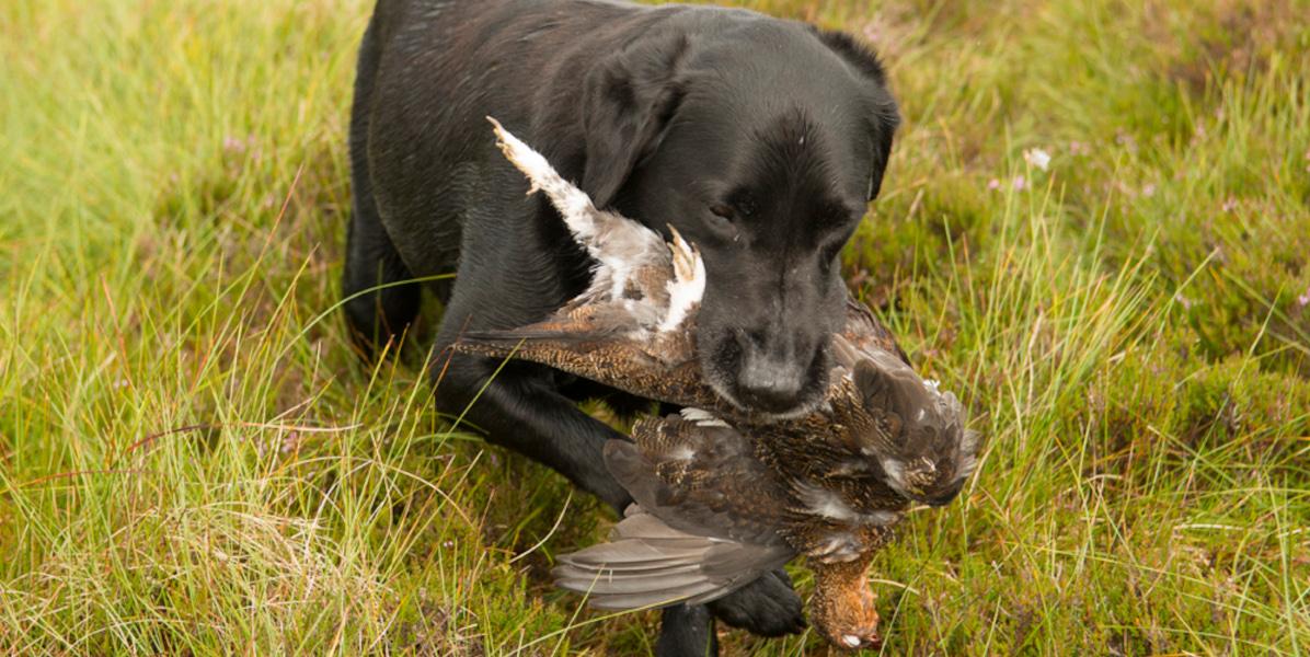 black labrador retrieving red grouse