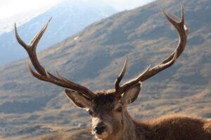 cervo rosso nelle montagne scozzesi