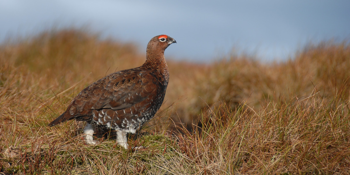 red grouse walking in grass