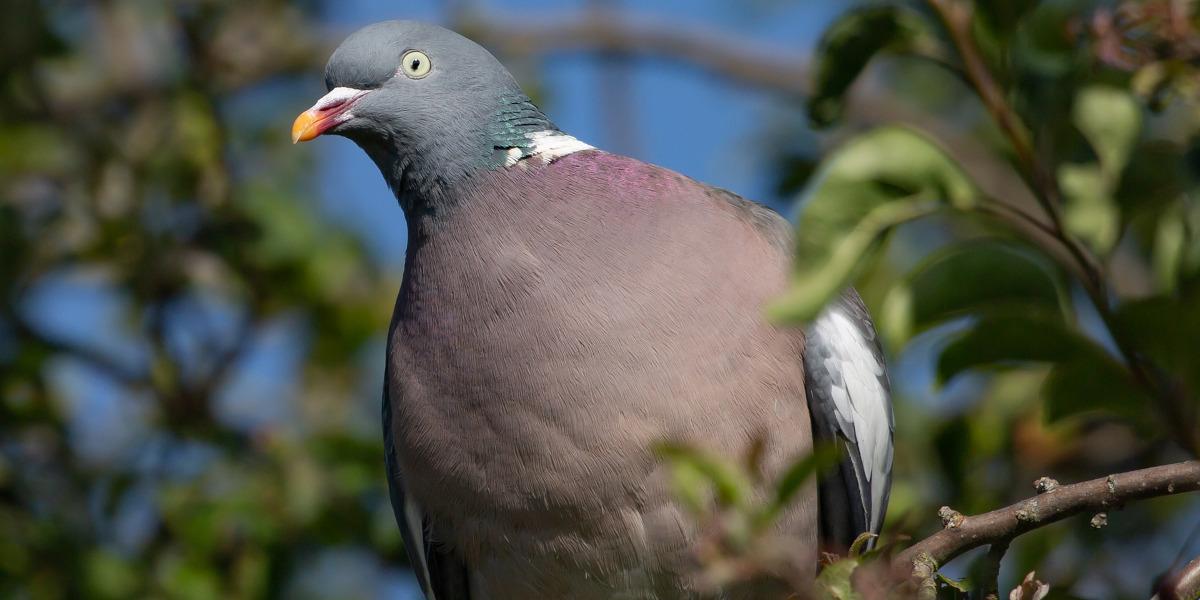 wood pigeon in tree