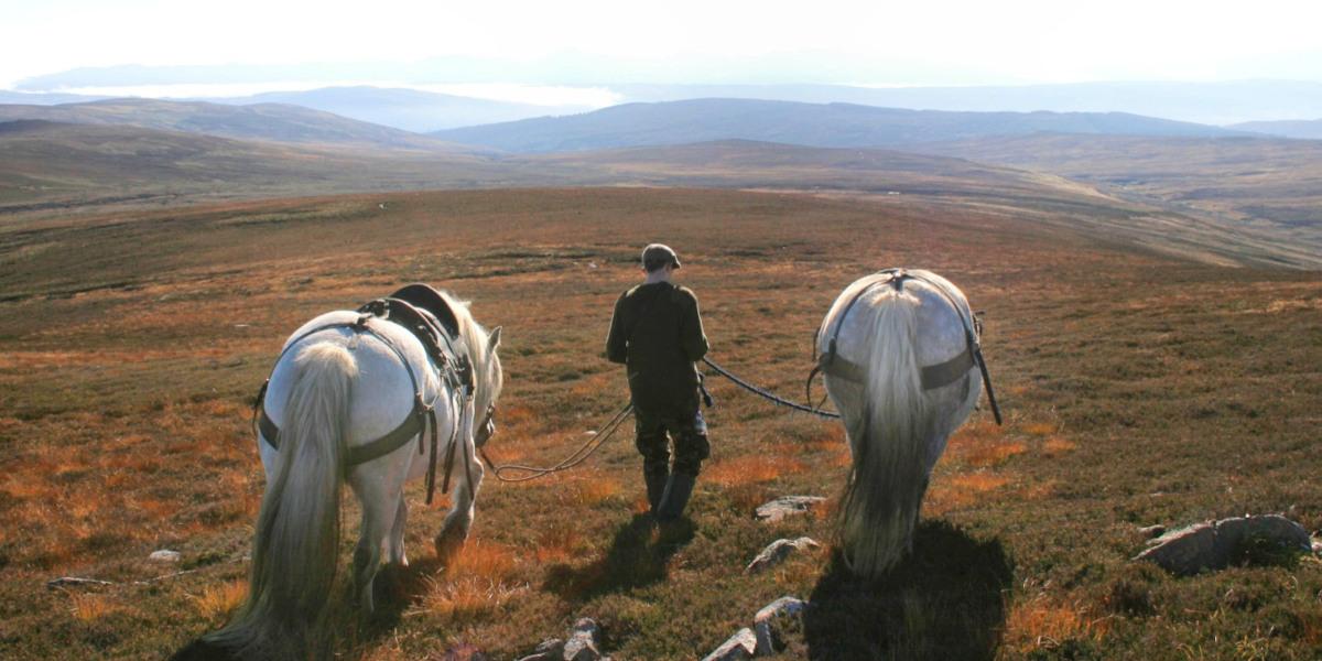 man walking with 2 Scottish hill ponies
