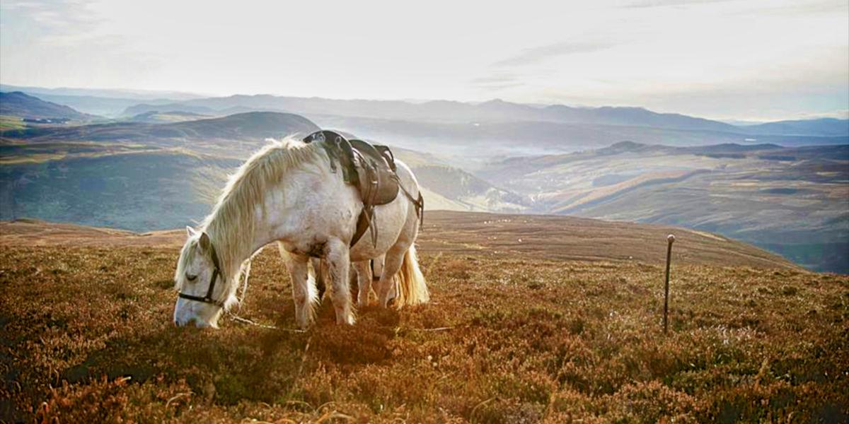 Scottish hill pony