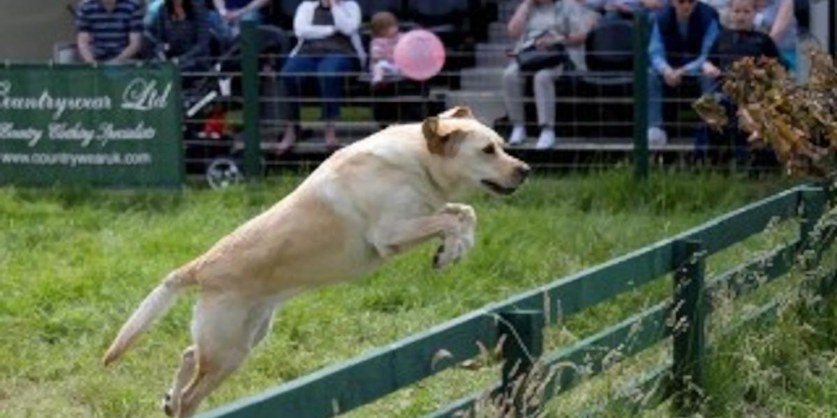 blond labrador prövar på spelmässan