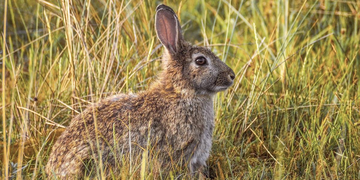 kanin i långt gräs