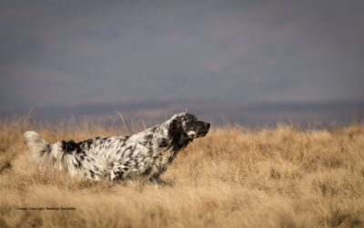 Working Dogs – The English Setter