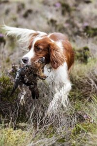 spaniel carrying grouse