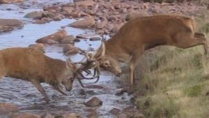 red deer stags rutting in stream
