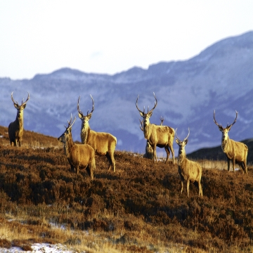 Stags on hillside