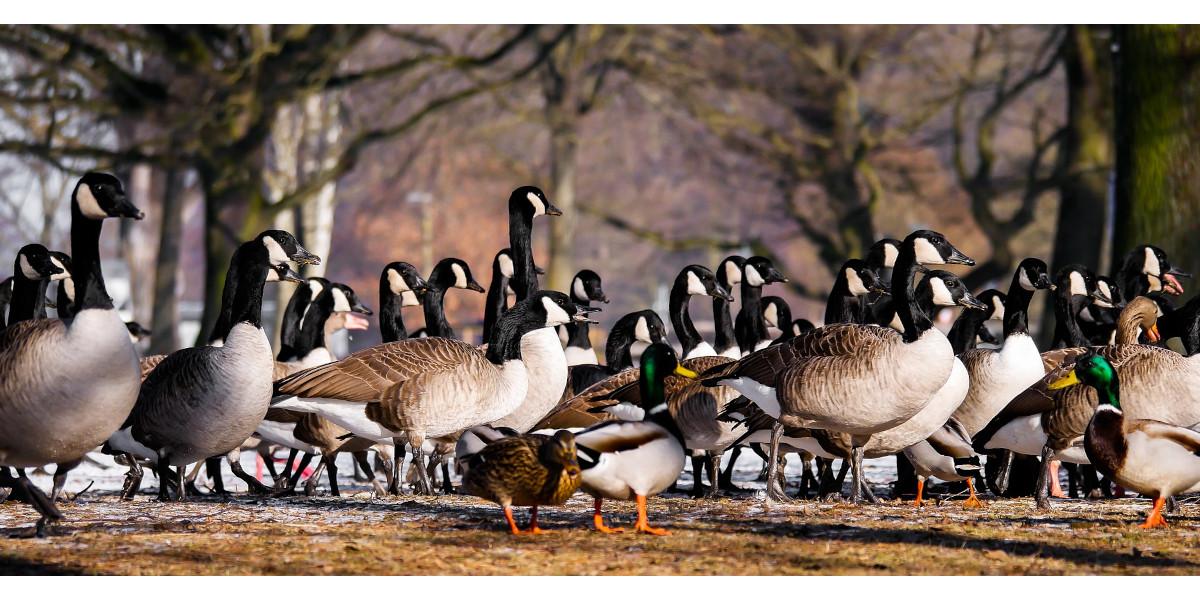 Canadá gansos y patos reales