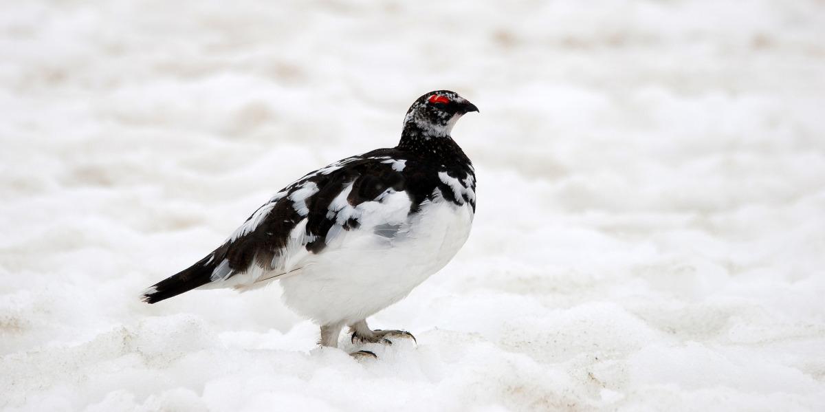 Schneehühner im Schnee