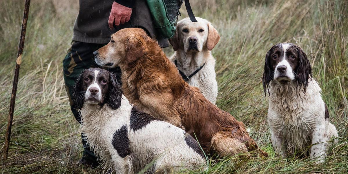 Vier Hunde mit Picker-up